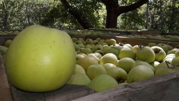 Brasil cerró el ingreso de peras y manzanas de la Argentina por una plaga